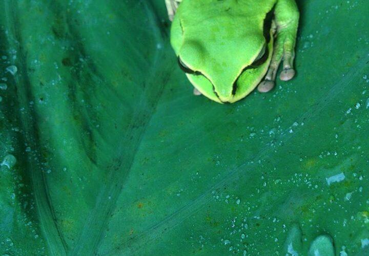 green-tree-frog