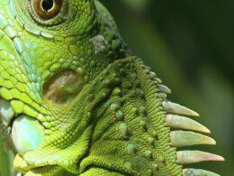 Iguana - Photo by Denise Johnson Shreve