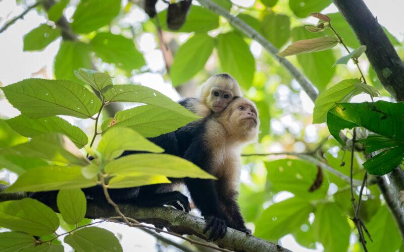 White faced monkeys, Reserva Playa Tortuga - Photo by Felipe Thomas