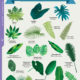 Tropical Leaves of Costa Rica - Field Guide